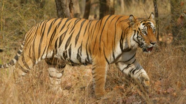 What Is a Male Tiger Called?