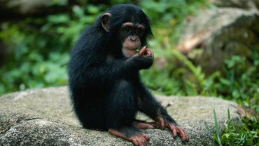 What Animals Are Prey for Monkeys?
