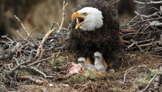 What Is a Young Eagle Called?