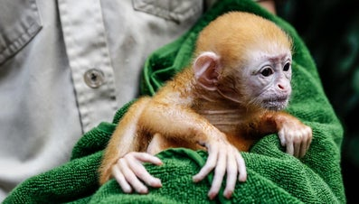 What Is a Young Monkey Called?