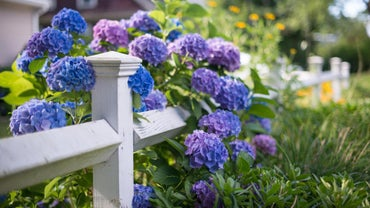 What Is the Blooming Season for Hydrangeas?