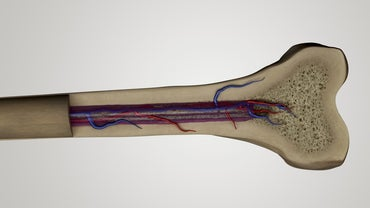 What Is the Composition of Bone?
