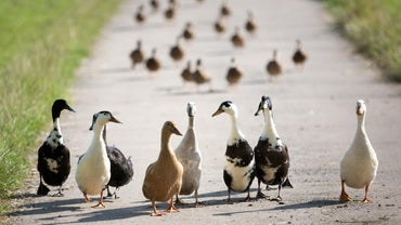 What Is the Difference Between Ducks and Geese?