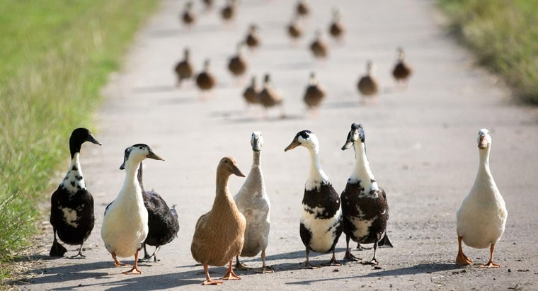 difference-between-ducks-geese
