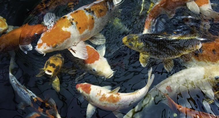 difference-between-koi-goldfish