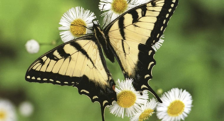 lifespan-butterfly