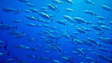 What Is the Most Expensive Fish to Eat?