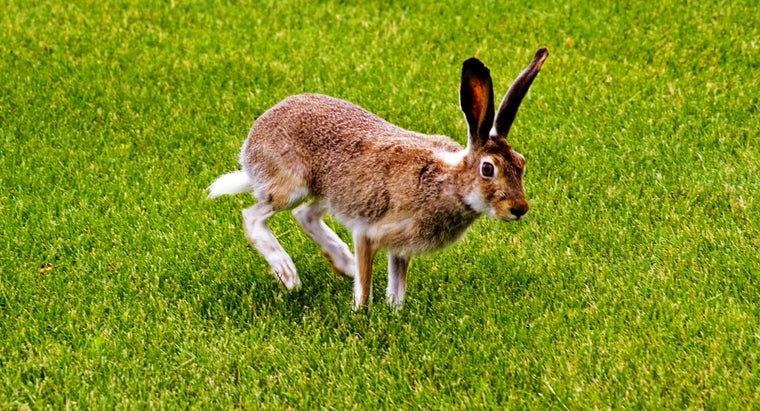 name-hare-s-tail