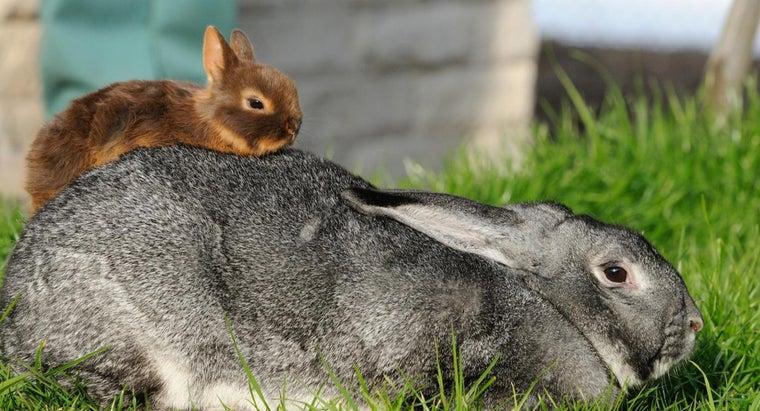 smallest-rabbit-breed