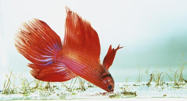 kind-fish-can-put-betta-fish