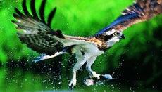 What Kind of Nest Do Ospreys Build?