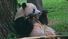 What Do Pandas Eat?