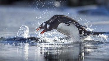What Do Penguins Eat?