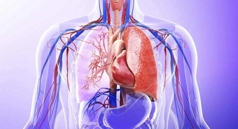 role-lungs-excretory-system