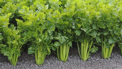 What States Does Celery Grow In?