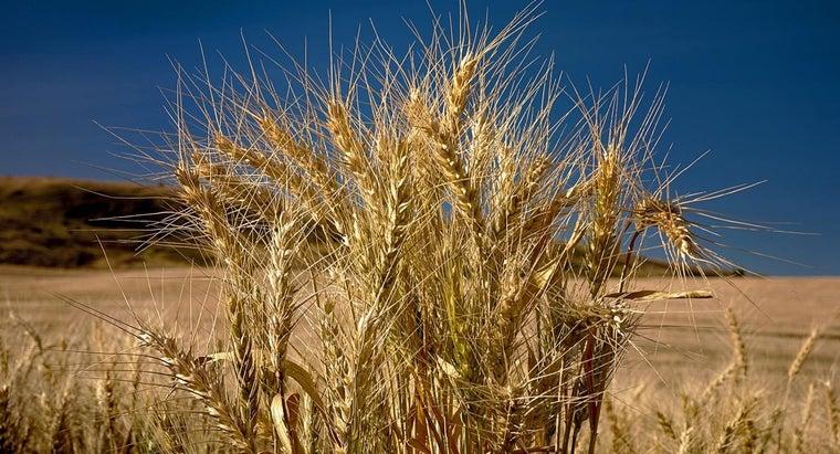 wheat-plant-look-like