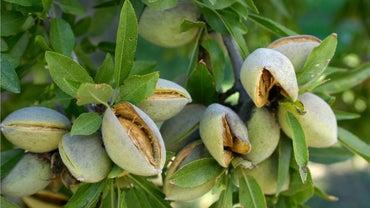 Where Do Almonds Grow?