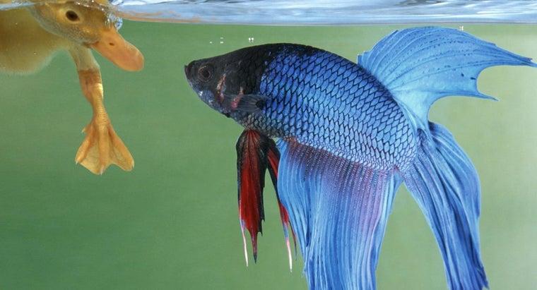 betta-fish-live