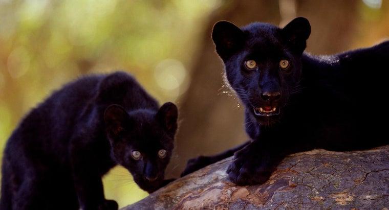 black-panthers-live