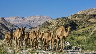 Where Do Camels Live?