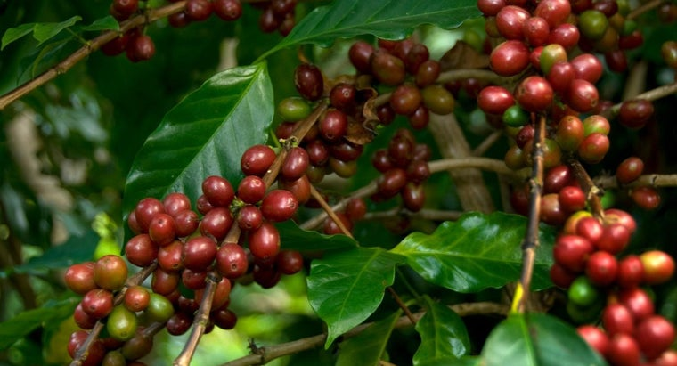 coffee-beans-grow
