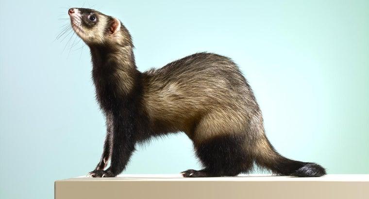 did-ferrets-originally-come