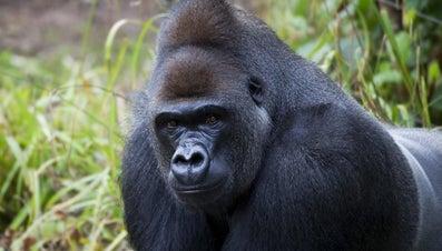 Where Do Gorillas Live?