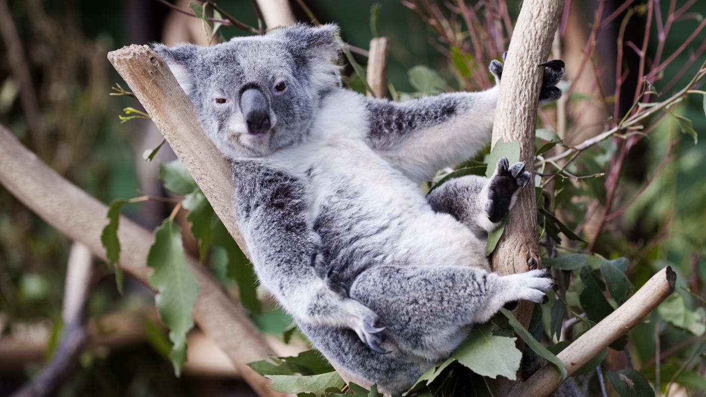 Смешная картинка коала