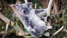 Where Do Koala Bears Live?