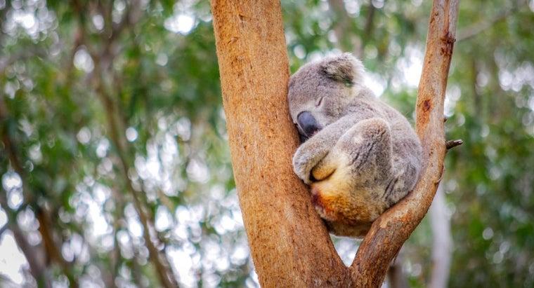koalas-sleep