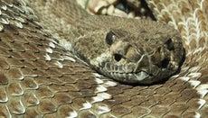 Where Do Rattlesnakes Live?