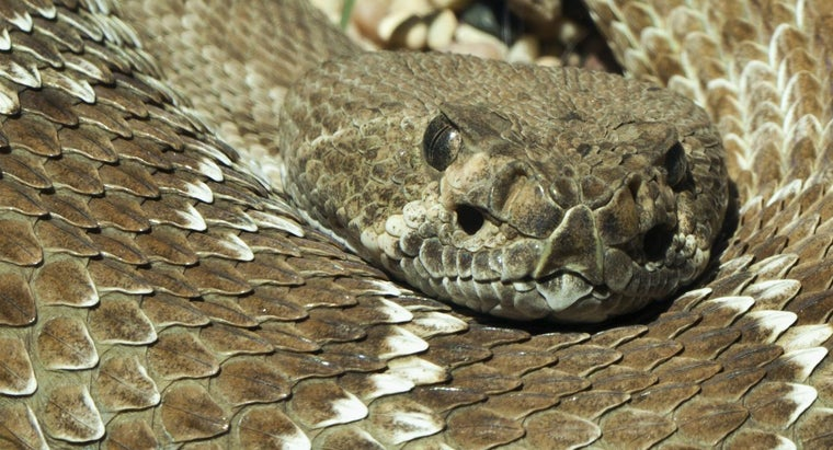 rattlesnakes-live