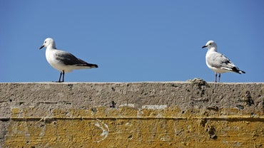 Where Do Seagulls Build Their Nests?