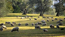 Where Do Sheep Live?
