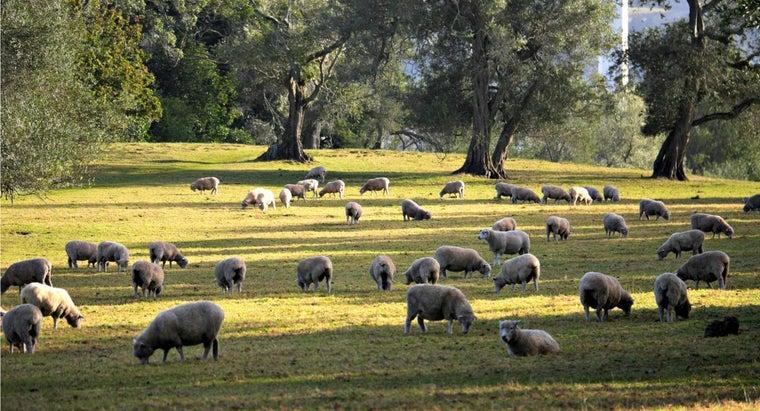 sheep-live