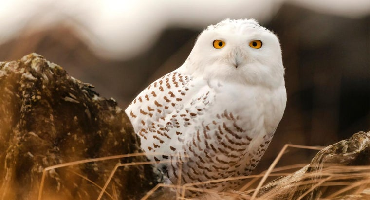 snowy-owls-live