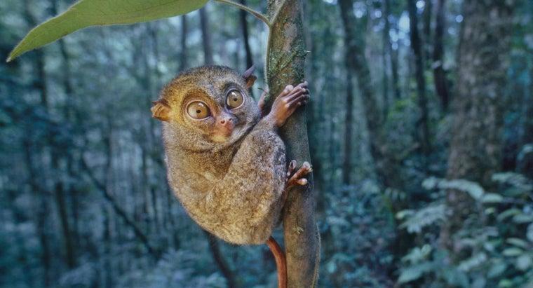 tarsiers-live