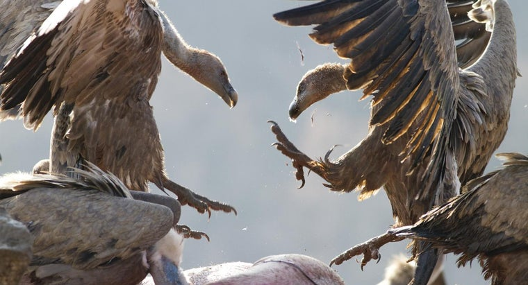 vultures-live
