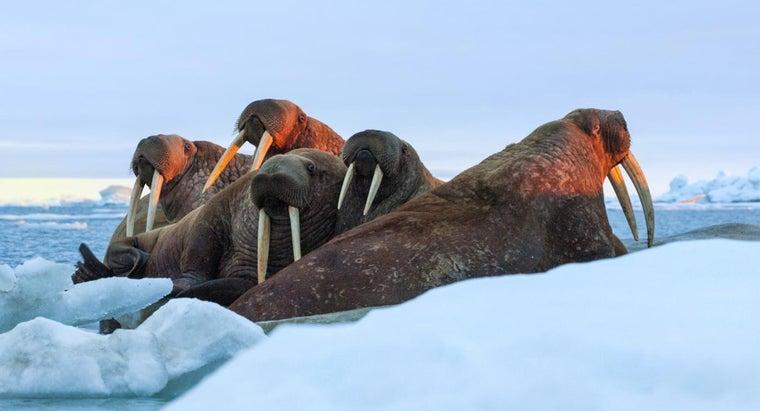 walruses-live