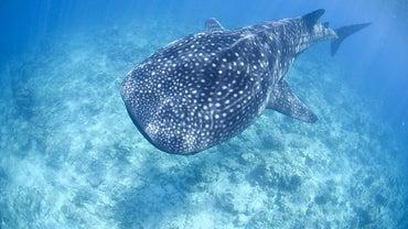 Where Do Whale Sharks Live?