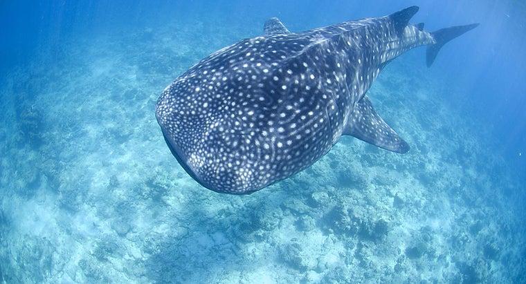 whale-sharks-live