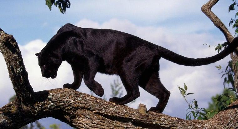wild-black-panthers-live