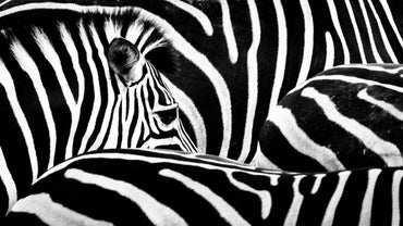 Where Do Zebras Live?