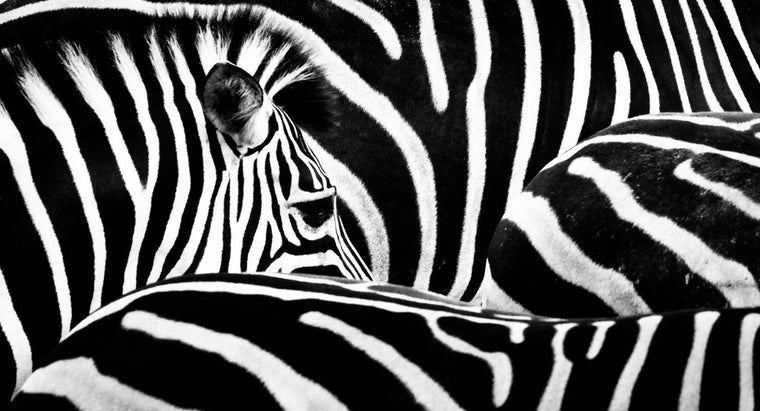 zebras-live