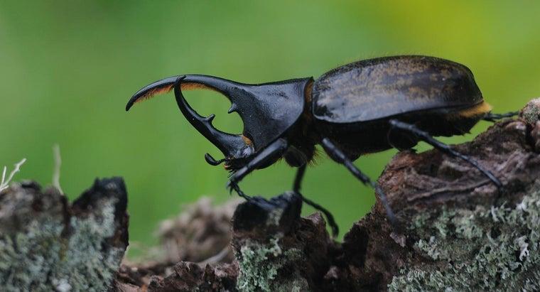 rhinoceros-beetles-live