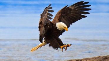 Where Do Eagles Live?