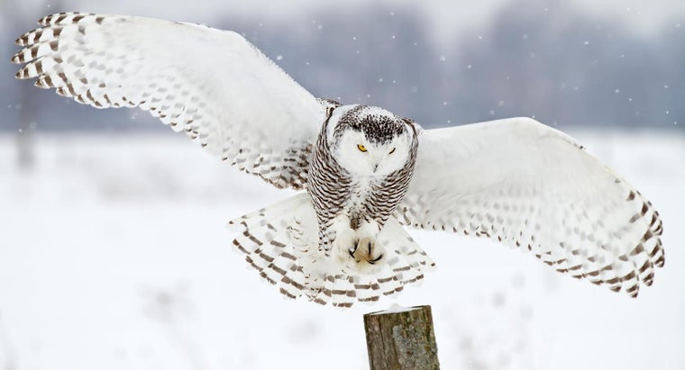 white-owls-symbolize
