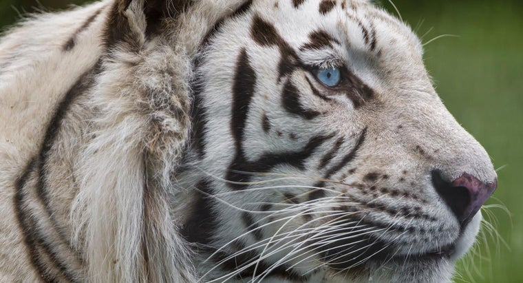 white-tiger-s-food