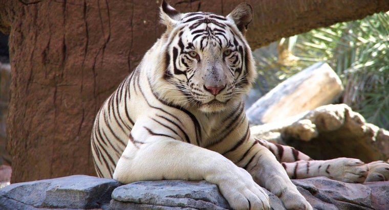 white-tigers-endangered