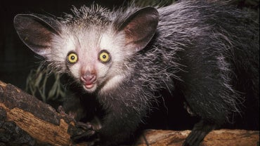 Why Are Aye-Ayes Endangered?